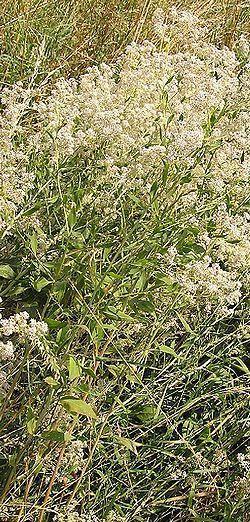 rompepiedras lepidium latifolium