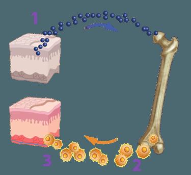 Células madre Adultas SE2