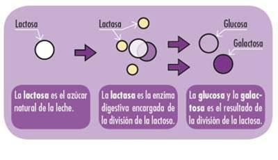 Lactasa. proceso de digestión