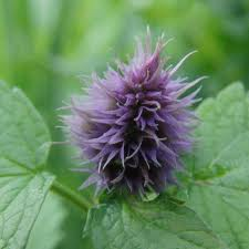 Aceite esencial de patchouli (pachuli). Aromaterapia
