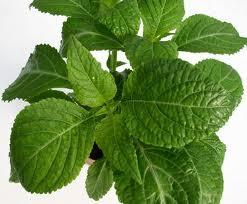 Aceite esencial de salvia. Aromaterapia