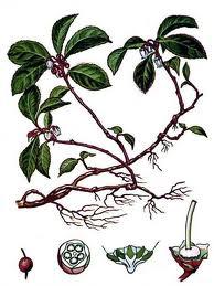 Aceite esencial de Wintergreen (Gaulteria)