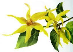 Aceite esencial de Ylang Ylang. Aromaterapia
